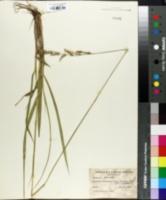 Image of Brachiaria falcifera