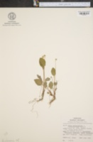 Image of Viola primulifolia