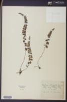 Lindsaea orbiculata image