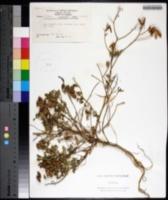 Crotalaria incana image