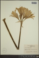 Lycoris squamigera image