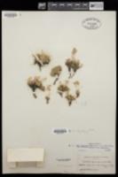 Draba oligosperma image