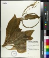 Image of Nicotiana rosulata