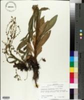 Cynoglossum zeylanicum image