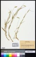 Image of Echinolaena inflexa