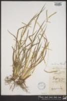 Paspalum laeve var. pilosum image