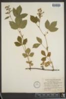 Image of Rubus jacens