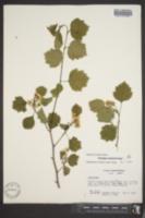 Image of Crataegus neobushii