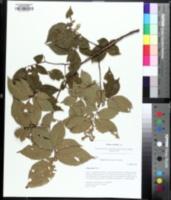 Image of Ulmus serotina