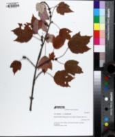 Acer drummondii image