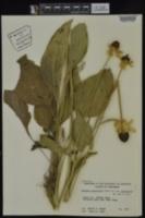 Rudbeckia grandiflora var. grandiflora image