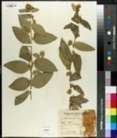 Cestrum calycinum image