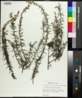 Conradina grandiflora image