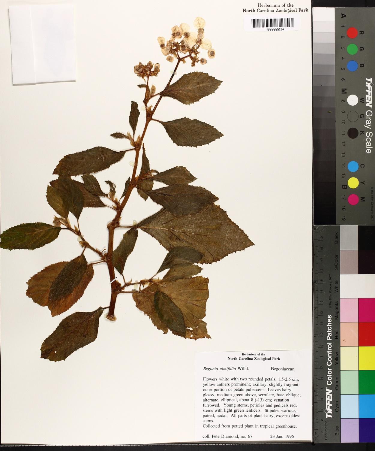 Begonia ulmifolia image
