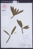 Image of Euphorbia pyrifolia