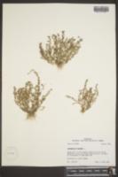 Anagallis minima image