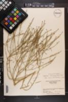 Image of Lepidium africanum