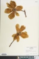 Image of Magnolia denudata