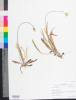 Image of Krigia dandelion