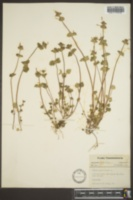 Lamium amplexicaule image