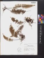 Pecluma pectinata image