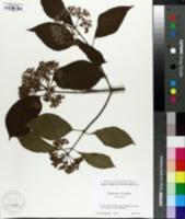 Image of Viburnum urceolatum
