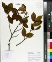 Camellia kissii image