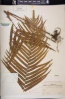 Sphaerostephanos unitus image