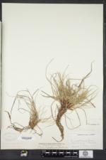 Carex rugosperma image