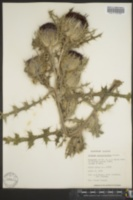 Cirsium spinosissimum image