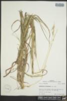Bothriochloa saccharoides image