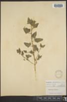 Chenopodium urbicum image