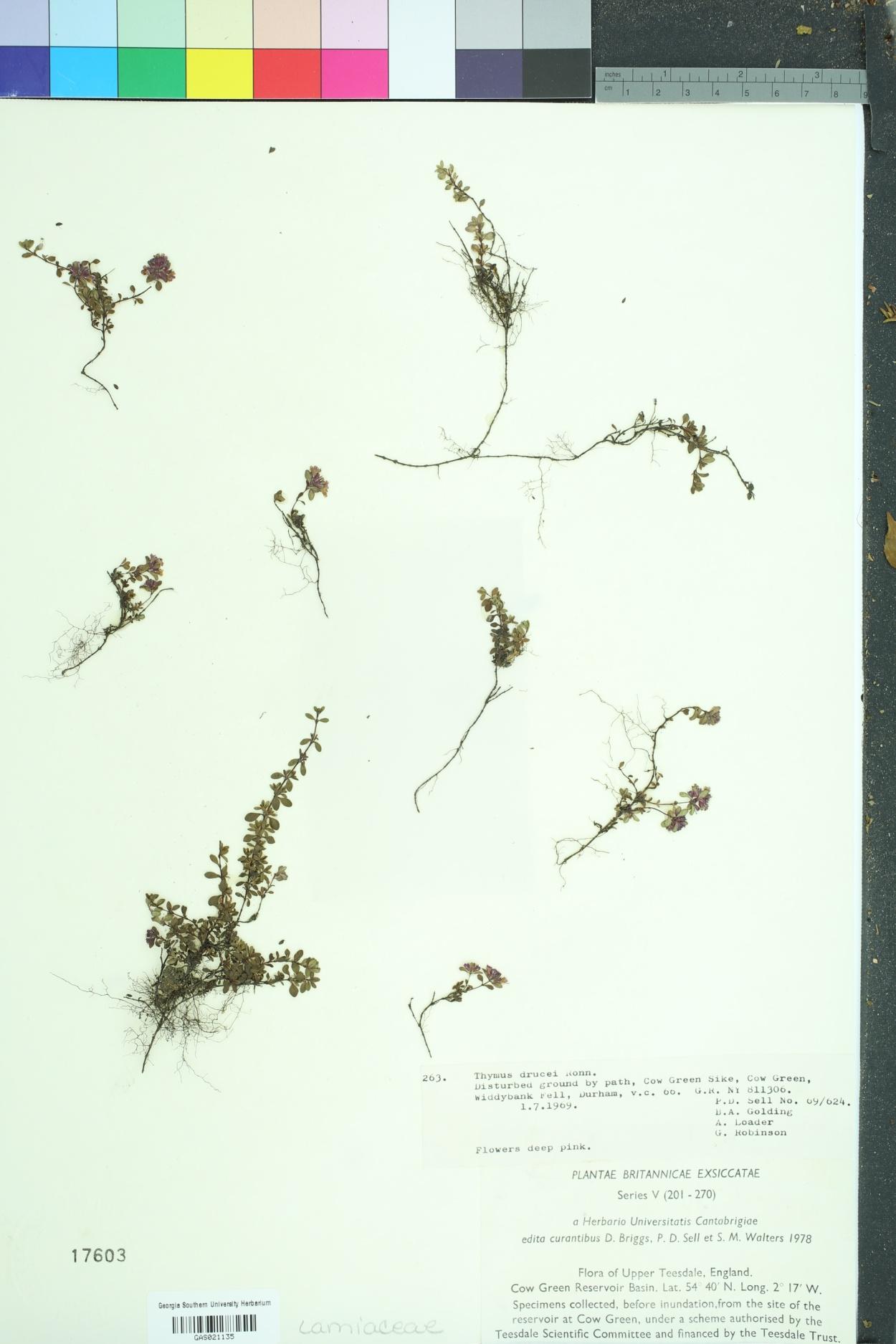 Thymus drucei image