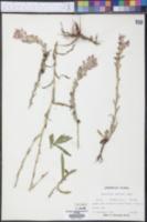 Castilleja indivisa image