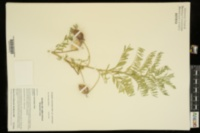 Astragalus crassicarpus var. crassicarpus image
