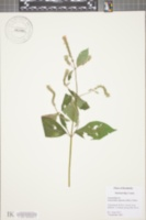 Achyranthes japonica image