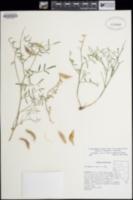 Astragalus casei image