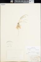 Allium nevadense image