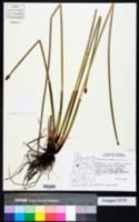 Eleocharis palustris image