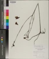 Agalinis linifolia image