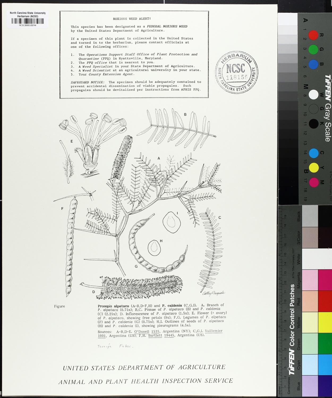 Prosopis alpataco image