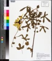 Hibiscus aculeatus image