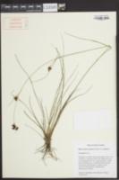 Rhynchospora perplexa var. perplexa image