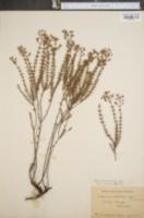 Image of Hypericum galioides