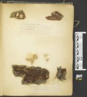 Byssomerulius corium image