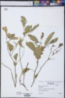Physalis walteri image