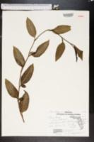 Plumbago zeylanica image
