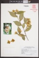 Image of Camellia fraterna