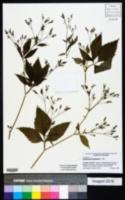 Cryptotaenia canadensis image