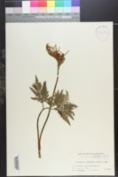 Image of Sceptridium japonicum